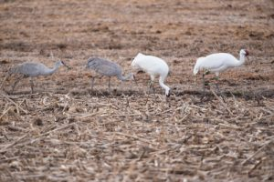 whooping%20cranes